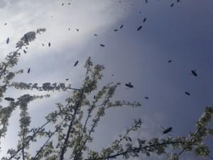 Imkerbienen